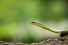 Serpente verde Immagini Stock