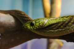 Serpente verde Imagens de Stock Royalty Free