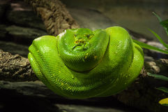 Serpente verde Foto de Stock Royalty Free