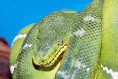 Serpente verde arrotolato del boa Immagine Stock Libera da Diritti