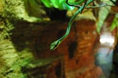Serpente verde che appende sul ramo di albero verde fotografia stock