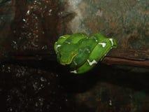 Serpente verde da árvore Fotografia de Stock Royalty Free