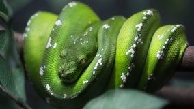 Serpente verde del pitone dell'albero su un ramo Fotografie Stock