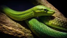 Serpente verde dell'albero nella giungla stock footage