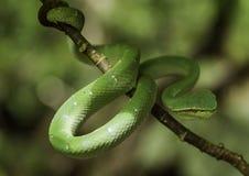 Serpente verde della vipera della foglia Fotografia Stock Libera da Diritti