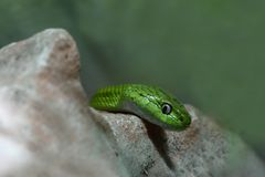 Serpente verde do gato Fotografia de Stock Royalty Free