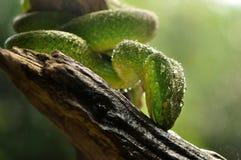 Serpente verde em um ramo Fotografia de Stock Royalty Free