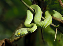 Serpente verde in foresta pluviale Fotografia Stock