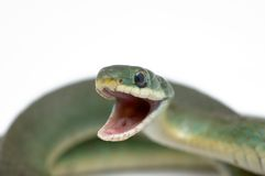 Serpente verde lisa (vernalis do Opheodrys) Imagem de Stock Royalty Free