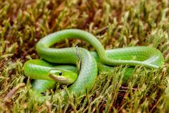 Serpente verde liscio Fotografie Stock Libere da Diritti