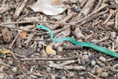 Serpente verde macchiato che striscia sulla terra a Zanzibar immagine stock