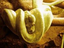 Serpente verde in un albero Fotografia Stock Libera da Diritti