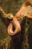 Serpente vermelha de Ratsnake/milho - Elaphe Guttata Guttata Foto de Stock Royalty Free