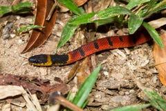 serpente Vermelho-suportada do café fotografia de stock royalty free