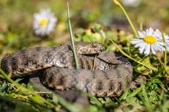 Serpente, vipera Fotografie Stock
