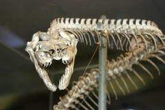 Serpentee el esqueleto Imagen de archivo libre de regalías