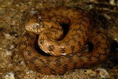 Serpenteie o Natrix Maura em Alpedrete, Madri, Espanha Imagens de Stock