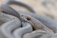 Serpentes ocidentais de Texas imagem de stock
