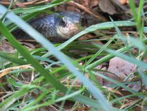 Serpentez dans l'herbe, ratsnake occidental, obsoletus de Pantherophis Image libre de droits