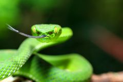 Serpentez, des nebularis verts de Trimeresurus de vipère de mine de Cameron Highland de vipère d'arbre photos libres de droits