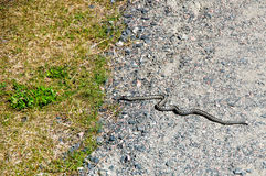 Serpentez le rampement sur le trottoir dans l'herbe Photographie stock
