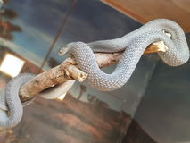 serpenti Fotografie Stock Libere da Diritti