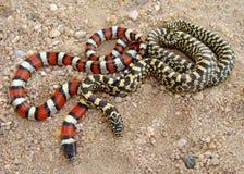 Serpenti di sguardo esotici, due specie di re serpente Fotografie Stock Libere da Diritti