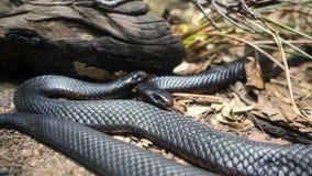 Serpenti neri gonfiati rosso Fotografie Stock Libere da Diritti
