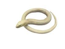Serpentiform lizard Stock Photos