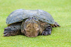 Serpentina del Chelydra della tartaruga di schiocco Fotografia Stock Libera da Diritti