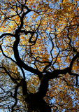 Serpentine Tree. Twisted tree branches and fall leaves Royalty Free Stock Photo