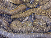 Serpentine Twist. A large rattler lies coiled repeatedly, resting among the writhing mass of its companions Stock Photography