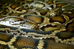 Serpents Image stock