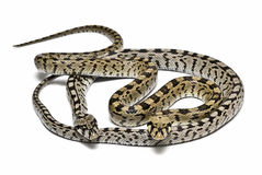 Serpents dangereux. Images libres de droits