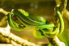 Serpents dans une mini-serre Photos libres de droits