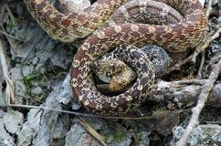 Serpents de Bull de accouplement Images stock