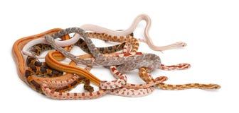 Serpents de maïs Scaleless, Pantherophis Guttatus Image libre de droits