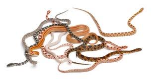 Serpents de maïs Scaleless, Pantherophis Guttatus Photos libres de droits