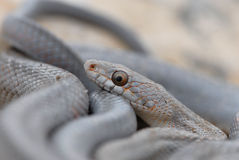 Serpents occidentaux du Texas Image stock