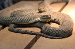 Serpents sur une caisse images stock