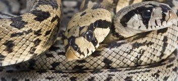 Serpents toxiques. Image libre de droits