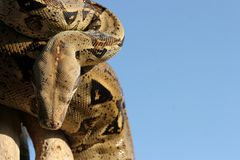 Serpiente 2 del pitón Imagen de archivo libre de regalías