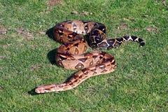 Serpiente Imagen de archivo