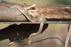 Serpiente Foto de archivo