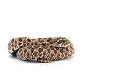 Serpiente aislada en blanco Fotografía de archivo