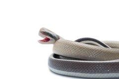 Serpiente aislada en blanco Fotos de archivo libres de regalías