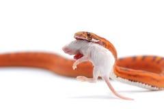 Serpiente aislada en blanco Imágenes de archivo libres de regalías