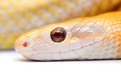 Serpiente aislada en blanco Imagen de archivo libre de regalías