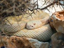 Serpiente amarilla Imagen de archivo libre de regalías