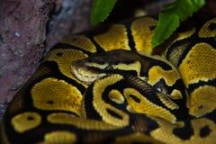 Serpiente amarilla en cautiverio Imagenes de archivo
